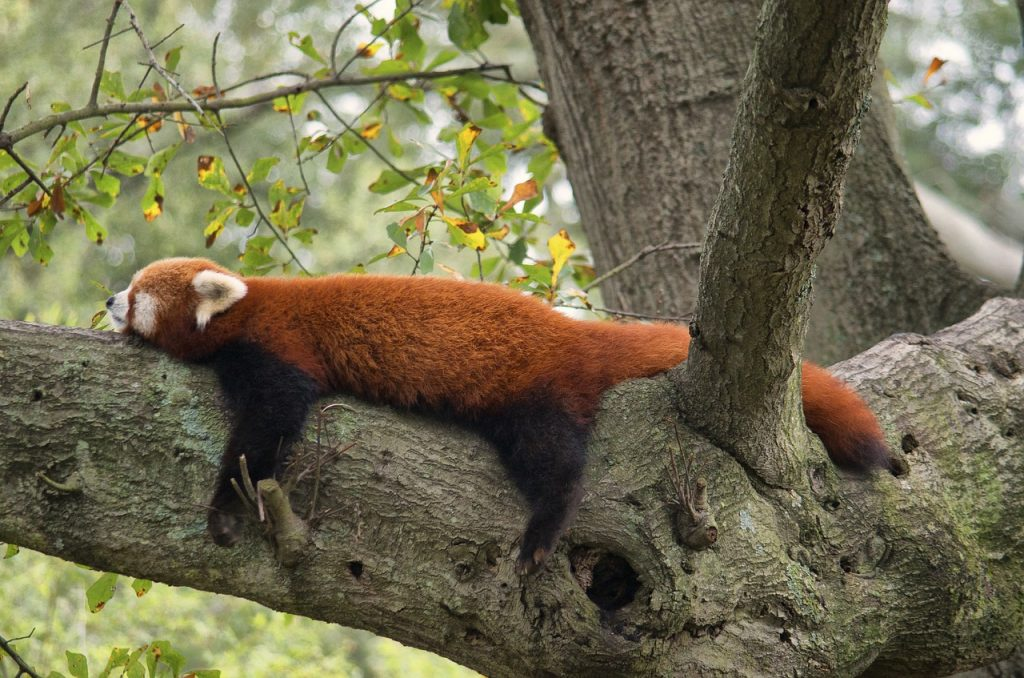 A red panda bear sprawled out on a tree limb, illustrating the power paying yourself first has to deliver stress-free spending.