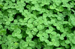 Close-up photo of a carpet of three-leafed clover, illustrating the three primary benefits of online bill pay.
